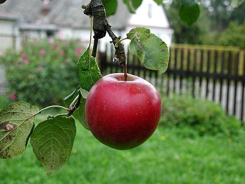 beautiful-red-apple
