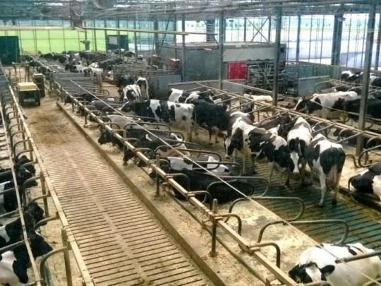 3133920--kravin-v-nizozemskem-lelystadu-kde-dochazi-ke-sberu-trusu-kravy-zde-navic-doji-i-umyva-automaticky-robot--1-950x0p0